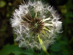 Dandelion - macro attempt 1 (Flicker Classic Person) Tags: macro sweden dandelion sverige safe blowball 2016 stergtland vtterviksbadet