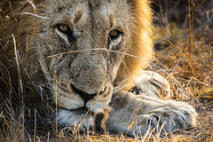 Lion's gaze (Vittorio Avataneo) Tags: animal southafrica feline lion simba kruger bigfive