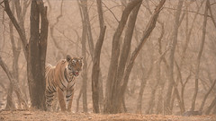 Tiger Hunting for his Breakfast (Raymond J Barlow) Tags: travel india animal wildlife tiger adventure workshop phototours raymondbarlow