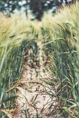 pathfinder (***toile filante***) Tags: summer nature field cornfield path sommer natur grain feld pfad getreide getreidefeld