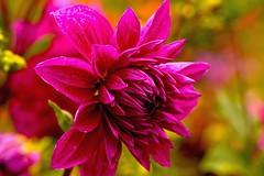 Cool (Rajavelu1) Tags: pink flowers art garden colours creative ooty artland macrophotography canon6d
