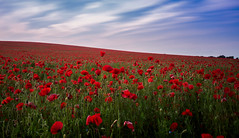 Poppies in Pomp (David Baterip) Tags: uk summer england sky flower floral field clouds outdoors golden big long exposure farmland hour poppy poppies cambridgeshire stopper poppyfield tokina1116f28 bigstopper nikond750