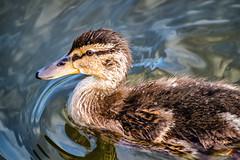 Mallard Duckling (robinta) Tags: colour detail bird texture animal duck pentax wildlife telephoto ks1 sunderland wildfowl sigma70300mmapo