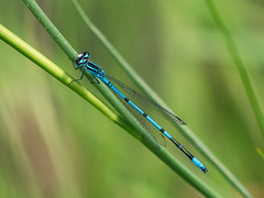 P6190165 (Rebecca_Wilton) Tags: summer netherlands europe wildlife nederland olympus damselfly em1 2016 oostvaarderplassen zuikodigital50200mm