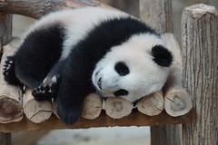 DSC04036 (kuromimi64) Tags: bear zoo panda malaysia nationalzoo kualalumpur giantpanda   zoonegara       nuannuan selangordarulehsan  zoonegaramalaysia