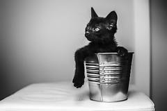 Seline, de Gatitos en Apuros. (Ral Barrero fotografa) Tags: cat pet gato black poal