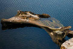 Dinosaur bone in water (keyaart) Tags: tree nature water river pattern konkan