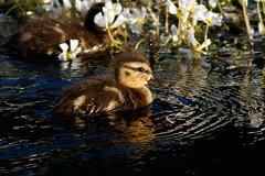 _F0A2961.jpg (Kico Lopez) Tags: birds rio spain aves galicia lugo mio anasplatyrhynchos anadeazulon