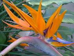 Exotic Bird of Paradise, Secluded Garden, KEW, The Royal Botanical Garden @ 24 March 2012 (1 of 4) (Kam Hong Leung 08) Tags: park wood blue autumn winter summer orange kewgardens plant flower colour tree green bird london heritage nature ecology grass kew fauna woodland garden season insect botanical photography photo spring flora education flickr paradise image wildlife meadow royal conservation visit science bee birdofparadise greenhouse stamen tropical environment pollen botany grassland visitor wildflower horticulture glasshouse palmhouse springtime biodiversity londonpark temperate stamina princessofwalesconservatory pollinator secludedgarden kamhongleung leungkamhong yourkew naturalneighbourhood tempratehouse friendsofkew