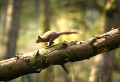 Red Squirrel action (Chris McLoughlin) Tags: action wildlife upnorth redsquirrel sigma150500 chrismcloughlin fxb2g