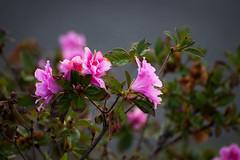 Springtime azaleas (Thomas Grooms) Tags: pink flower green spring bush azaleas charleston bloom azalea danielisland