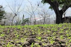 NP Honduras TOR 9 (CIAT International Center for Tropical Agriculture) Tags: food cup latinamerica drought agriculture tor climatechange adaptation staple globalwarming centralamerica ciat dapa cgiar nrpciat1