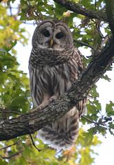 Barred Owl (lanaganpm) Tags:
