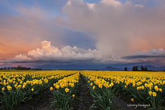 Daffodils in the Skagit Valley (Vinnyimages) Tags: sunset color washington washingtonstate daffodils mountvernon vinnyimages wwwvinnyimagescom skagitvilleytulipfestival