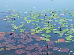 Into the Mystic (Cher12861) Tags: flowers summer nature water beauty garden landscape purple lilypads garfieldparkconservatory chicagoillinois waterlilys fromthearchivesfromjuly2010