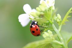 Blume Flower Beetle Ladybird (Ralf Krause) Tags: flower macro canon eos zoo erfurt beetle ladybird blume makro marienkfer 1100d