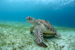 Green Sea Turtle (Alastair Pollock) Tags: green nikon underwater turtle philippines sigma 15mm seagrass palawan ikelite subal d700 alastairpollock