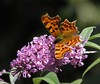 Comma (rockwolf) Tags: flower butterfly insect cornwall buddleia lepidoptera explore comma polygoniacalbum menheniot explored rockwolf fbdg