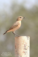 - Female Wheatear (Abu-Khalifa) Tags: female wheatear