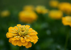 Yellow Zinnia~Explored! (j man ) Tags: life birthday lighting flowers friends light flower color macro green art nature floral colors beautiful yellow closeup lens happy photography illinois flickr dof blossom bokeh pov background sony details extreme favorites depthoffield pointofview views 60mm zinnia closeness tamron rule comments 2012 thirds washingtonpark jman a300 flickrbronzetrophygroup