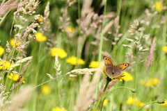 Maniola jurtina (Earthling81) Tags: butterfly germany gemany bruinzandoogje meadowbrown duitsland vlinder catsear maniolajurtina hypochaerisradicata gewoonbiggenkruid hebelermeer