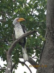 Hornbill in Simbabwe, NGID858553902 (naturgucker.de) Tags: tockusflavirostris gelbschnabeltoko naturguckerde 1256694887 cchristophschonechristophafrika ngid858553902 350083062