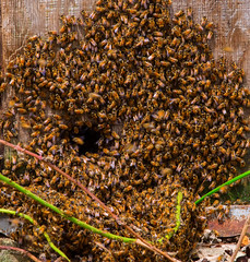 The natives were restless today ... (Curt Deatherage) Tags: oregon bee honeybee creswell oregonwildlife westernoregon curtdeath curtdeatherage oregoninsect