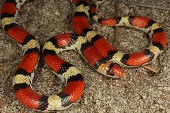 Northern Scarlet Snake (Mike D. Martin) Tags: nature canon reptile snake wildlife serpent coccinea dslr herp herpetology colubrid mikemartin michaelmartin herpetofauna cemophora aposematic copei canonrebelt2i mikedmartin