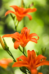 Lilies and light (SolsticeSol) Tags: flowers orange flower beautiful vertical spring lily image images lilies daylily springflowers orangeflowers orangedaylilies lilybokeh beautifulflowerpictures beautifulflowerimages imagesofbeautifulflowers beautifullilyimages orangedaylilyimages daylilyimages imagesoflilies imagesoforangelilies orangeflowerimages beautifullilymages orangelilyimages