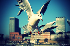 Hamburg Seagull (Vintage Style) (Benjamin von Tilly Kistner) Tags: old city sea seagulls white classic tourism face animals architecture canon vintage germany de geotagged deutschland photography eos freedom harbor fly flying photo colorful europa photos bokeh harbour seagull hamburg free bluesky german architektur blau augen hafen farbe canoneos auge gebude farbig tourismus tier starring gebaeude schnabel habour fliegen habor mven freiheit mve flgel moeve touristik starren tiefenschrfe canon1785is klassisch grossstadt canon1785 moeven tiefenunschrfe geologicalformation grosstadt canoneos60d eos60d mygearandme mygearandmepremium mygearandmebronze
