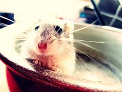Stina<3 (Clara Schneiter) Tags: hamster nos stina tassar sötis morrhår