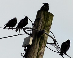 Up With The Starlings. Taken with Panasonic G2 + Tokina SZ-X 60-300mm f4-5.6 Effective 600mm/f8 handheld (Sang3eta) Tags: lumix telephone pole panasonic tokina 600 g2 250 starlings 600mm f456 60300mm szx dmcg2