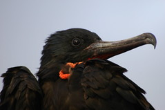 great hook (cam17) Tags: galapagos frigatebird headandshoulders warmblooded greatfrigatebird fregataminor hookedbeak redgularpouch greatmanowar longhookedbeak brightblackeye