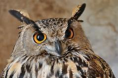 Duc (bazylek100) Tags: espaa bird castle nature spain natura owl mallorca birdsofprey birdofprey duc majorca puchacz balearicislands capdepera eagleowl majorka sowa hiszpania bhoreal spanisheagleowl bubobubohispanicus artfalcons