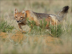 Wary (gainesp2003) Tags: mammal colorado wildlife fox co predator stalk stalking vixen wary swiftfox pawneenationalgrasslands canid