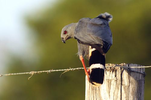 Gavilán zancón (Crane Hawk / <i>Geranospiza caerulescens</i>)
