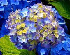 Blue Hydrangeas (Explore) (careth@2012) Tags: flowers explore hydrangeas autofocus thegalaxy awesomeblossoms esenciadelanaturaleza itsallaboutflowers magicmomentsinyourlifelevel2 magicmomentsinyourlifelevel1 chariotsofnaturelevel1