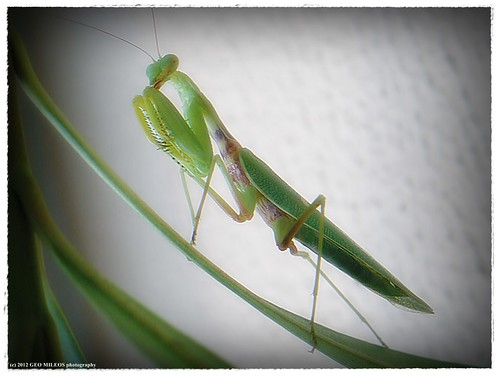 Mr. Mantis