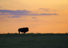 Bison Silhouette (The Real FROG) Tags: sunset nature silhouette buffalo kansas bison flinthills