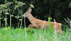 Roe Deer (Tony Steele,Oxford,UK) Tags: nikond90 roedeer burgessfieldnatureparkoxford tonysteelephotography burgessfieldnaturepark