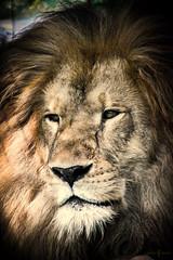 Rey Fuego (lfjaimesr) Tags: animal lion leon felino