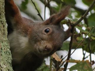 Eichhörnchen, NGIDn415524142