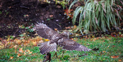 hawk-3936.jpg (HVargas) Tags: bird birds hawk wildlife aves falcon prey chickenhawk falconry redtailedhawk buteojamaicensis carnivoro harrishawk harrisshawk harlans gavilan guaraguao ractor baywingedhawk duskyhawk ratonerodecolaroja gavilncolirrojo