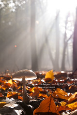 The light that lights the light (Lucky Lucas) Tags: trees light fall mushroom leaves forest licht nikon herfst sunrays paddenstoel shining sunbeams lightrays d300 porseleinzwam zonnestralen 1685mm