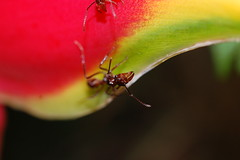 Bullet ant (tomfielding) Tags: trip school plant flower macro insect leaf hurt rainforest costarica shot ant tropical bullet pincers