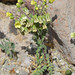 Emmenanthe penduliflora var. penduliflora; Whispering Bells