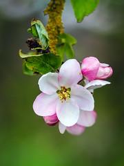 wilder Apfel (Maxi 66) Tags: apfel apfelbaum blüten apfelblüten