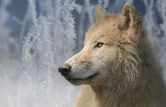 Polarwolf (ellen-ow) Tags: wolf tier raubtiere polarwolf sugetiere inexplore nikond4 hundeartige ellenow