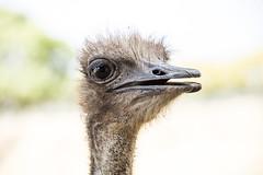 Ostrich - Lion Park, Johannesburg, SA (Bernard Collen) Tags: southafrica nikon d750 april johannesburg lionpark 2016 nikonafsnikkor28300mmf3556gedvr april2016