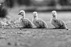Twins plus one! (dshoning) Tags: three babies waterfowl cygnets hmbt